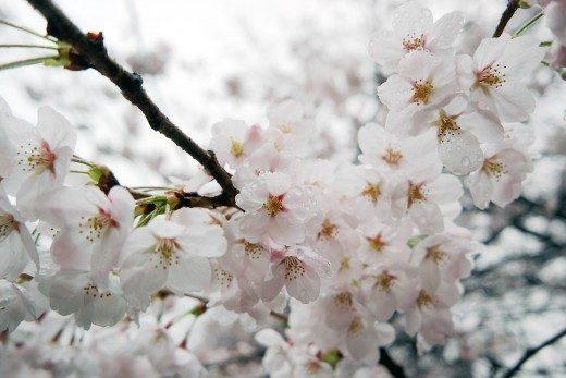 korea-sakura